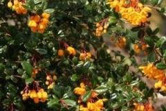 Berberis épine-vinette