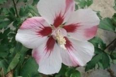 Mauve Hibiscus Hamabo
