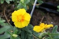 helianthemum--ben-fhada--p-image-37199-petite (2)