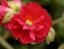 helianthemum--cerise-queen--p-image-39591-petite (2)