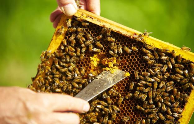 La recolte du miel